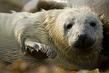 Grey Seal (Halichoerus grypus) pup portrait head shot with eyes open, taken on rocky beach in the west coast of Scotland. Mull of Kintyre near Campbeltown, Argyll, Scotland, UK