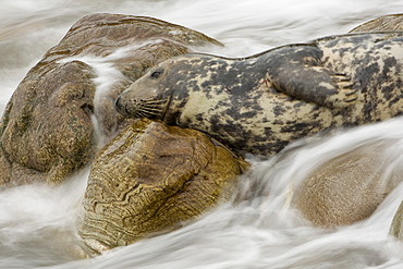 Grey Seal (Halichoerus grypus) female lying on rocks, head up looking with surf coming in round her. Slow shutter speed used showing movement of surf.. Mull of Kintyre near Campbeltown, Argyll, Scotland, UK