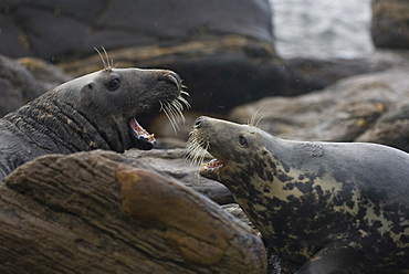 Grey Seal (Halichoerus grypus) female fighting bull to protect her pup. Mull of Kintyre near Campbeltown, Argyll, Scotland, UK