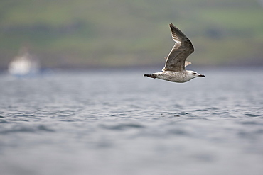 Herring Gull (Larus argentatus) flying low over waterHerring Gull (Larus argentatus) flying low over water. Oban, Argyll, Scotland, UK