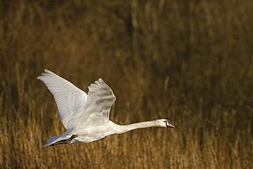 Mute Swan (Cygnus olor) juvenile head shot. Mary Hill Canal, Argyll, Scotland, UK