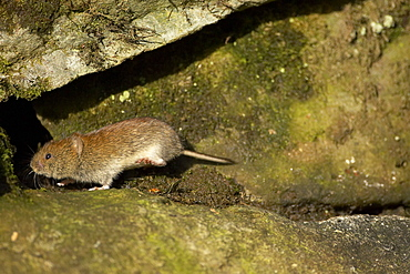 Bank Vole (Clethrionomys glareolus) running along wall, frozen in mid step with high speed shutter speed on a sunny day. Argyll, Scotland, UK