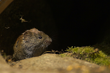 Bank Vole (Clethrionomys glareolus) coming out of a hole turning head to right. Hole is in an old wall with moss on the rocks. Argyll, Scotland