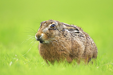 Brown Hare (Lepus capensis) eating grass in a meadow, with leaves sticking out of mouth.. Argyll, Scotland, UK