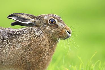 Brown Hare (Lepus capensis). Argyll, Scotland, UK