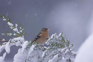 Chaffinch (Fringilla coelebs) male. highlands, Scotland, UK