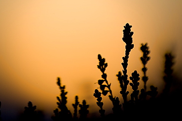 heather silhoutted against setting sun. highlands, Scotland, UK - 995-424
