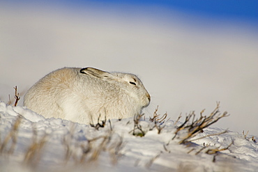 Mountain Hare (Lepus timidus) lying in snow with heather poking through snow, eyes closed. highlands, Scotland, UK