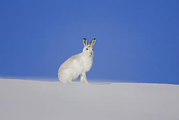 Mountain Hare (Lepus timidus) sitting up in pure snow bright blue sky as background. highlands, Scotland, UK