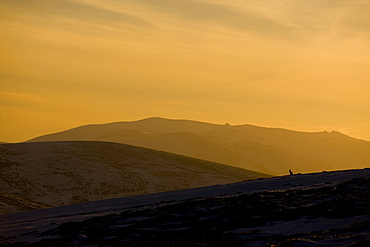 Mountain Hare (Lepus timidus) sitting up in snow and heather hills, wide angle shot with Hare silhouetted against setting sun . highlands, Scotland, UK