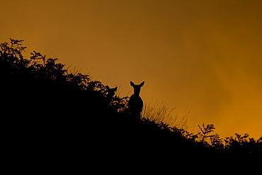 Red Deer (Cervus elaphus) two hinds silhoutted against setting sun in bracken covered hill side. Isle of Mull, Argyll, Scotland, UK