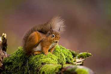 Red Squirrel (Sciurus vulgaris) sitting on mossy branch, scratching. Loch Awe, nr Oban, Scotland, UK