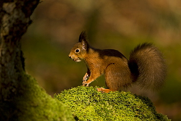 Red Squirrel (Sciurus vulgaris) standing on mossy knoll. Loch Awe, nr Oban, Scotland, UK