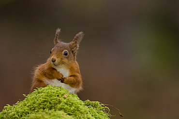 Red Squirrel (Sciurus vulgaris) sitting on mossy branch. Loch Awe, nr Oban, Scotland, UK