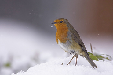 Robin (Erithacus rubecula) perched on a leaf covered in snow. highlands, Scotland, UK