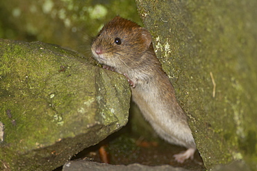 Bank Vole (Clethrionomys glareolus) peering over a rock in a wall, standing on hind legs. Argyll, Scotland, UK