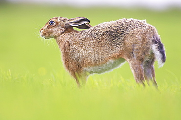 Brown Hare (Lepus capensis) stretching in a grassy meadow. Argyll, Scotland, UK