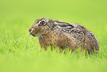 Brown Hare (Lepus capensis) resting in a grassy meadow. Argyll, Scotland, UK