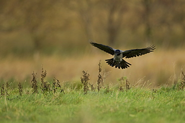 Hooded Crow (Corvus corone cornix) coming into land on a grassy meadow, wings open. Isle of Mull, Argyll, Scotland, UK - 995-532
