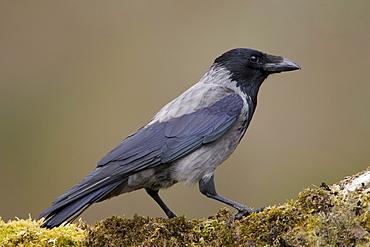 Hooded Crow (Corvus corone corone) standing on grass and moss. Argyll, Scotland, UK