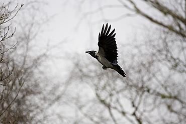 Hooded Crow (Corvus corone corone) flying to through trees. Argyll, Scotland, UK