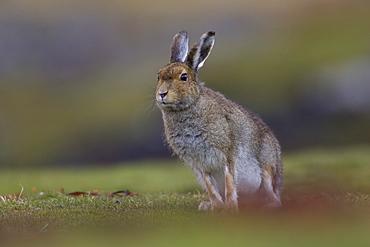 Irish Hare (Lepus timidus, sub species hibernicus) grazing on a coastal grassy knoll. Argyll and the Islands, Scotland, UK