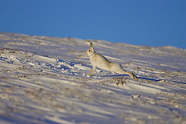 Mountain Hare (Lepus timidus) stretching in snow with heather poking through snow. highlands, Scotland, UK
