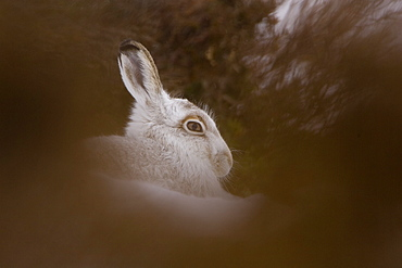 Mountain Hare (Lepus timidus) lying in snow with heather poking through snow. highlands, Scotland, UK