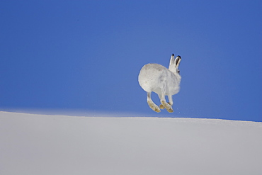 Mountain Hare (Lepus timidus) running in snow with bright blue sky as background. highlands, Scotland, UK