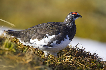 Ptarmigan (Lagopus mutus) male standing in long grass, in summer and winter plumage. Highlands, Scotland, UK