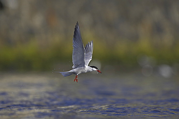 Common Tern (Sterna hirundo) flying with fish in mouth in Oban town centre while fishing. Oban, Argyll, Scotland, UK - 995-58