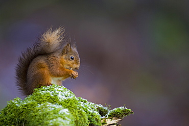 Red Squirrel (Sciurus vulgaris) sitting on mossy branch eating nut, with a snow covering some of the moss. Loch Awe, nr Oban, Scotland, UK