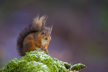 Red Squirrel (Sciurus vulgaris) sitting on mossy branch, with a snow covering some of the moss. Loch Awe, nr Oban, Scotland, UK