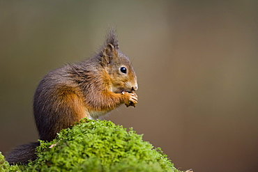 Red Squirrel (Sciurus vulgaris) sitting on mossy branch eating nut. Loch Awe, nr Oban, Scotland, UK