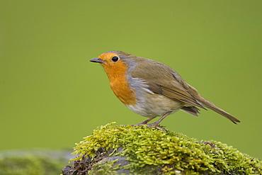 Robin (Erithacus rubecula) standing on a mossy wall. Loch Awe, nr Oban, Scotland, UK