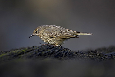 Rock Pipit (Anthus petrosus) looking for grubs in rocks. Argyll and the Islands, Scotland, UK