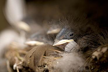 Swallow (Hirundo rustica) chicks in nestSwallow (Hirundo rustica) chicks in nest. Loch Awe, nr Oban, Scotland, UK
