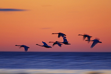Mute Swan (Cygnus olor) flying silhouetted against sunrise information, slow shutter speed Angus Scotland, UK