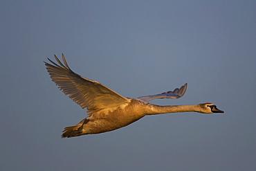 Mute Swan (Cygnus olor), juvenile flying, illuminated by early morning sun Angus Scotland, UK