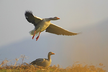 Greylag Goose (Anser anser) just after take off with another just about to take off. Argyll, Scotland, UK   (rr)