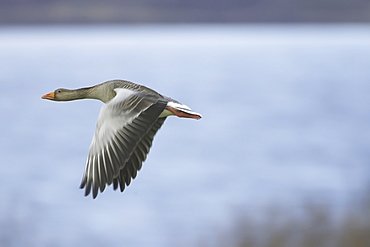 Greylag Goose (Anser anser) flying over field just after taking of. Flying with water is background. Argyll, Scotland, UK
