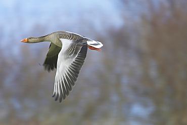 Greylag Goose (Anser anser) flying over field just after taking of. Slow shutter speed. Argyll, Scotland, UK
