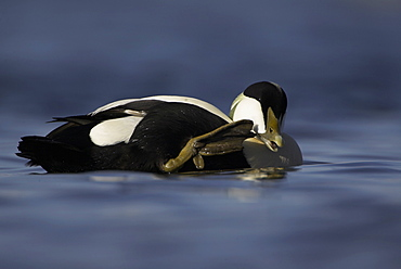 Eider duck (Somateria mollissima), male. Male appearing to call someone. Actual behaviour is scratching and cleaning mouth with claw on webbed foot, while drifting with winter raft , Scotland, United Kingdom