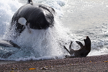 Mel, the Killer Whale or Orca (Orcinus orca) narrowly misses out on a South American Sea Lion (Otaria flavescens) that it was hunting, in Patagonia. Of the 18 only 7 have mastered the stranding behaviour whereby the Orca enters the shallow surf to feed on Sea Lion pups. Distinctive by his 2 metre dorsal fin, Mel is an expert hunter who feeds on Sea Lion pups before taking them back to his pod. This lucky Sea Lion however managed to escape the hunter's attentions.