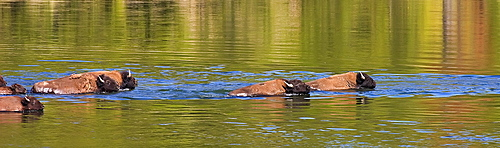 Swimming Buffalos in the Yellowstone River, Bos bison; American Buffalo; American Bison; Swimming The Yellowstone River; Yellowstone National Park; Wyoming