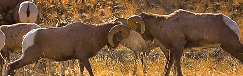 Big Horn Rams butting heads in the rut, Ovis canadensis; Big Horn Sheep; Big Horn Rams Butting Heads; Big Horn Rams in the rut
