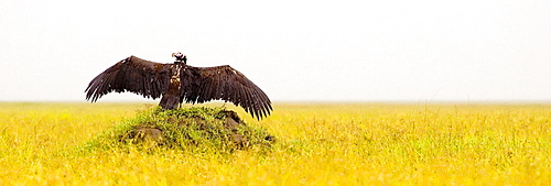 Necrosyrtes monachus; Hooded Vulture; Hooded Vulture Basking; Serengeti; Tanzania; Africa