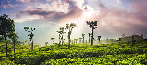 Sunrise over tea plantations and mountains, Haputale, Sri Lanka Hill Country, Central Highlands, Sri Lanka, Asia