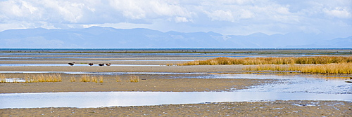 Birds and mountains at Farewell Spit, Golden Bay, Tasman Region, South Island, New Zealand, Pacific