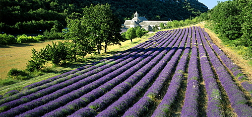Lavender field, Abbaye de SÈnanque, Cistercian Abbey, near Gordes, Vaucluse, Provence, France, Europe